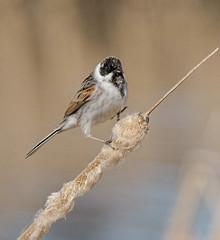 Камышовая овсянка (SvetlanaJessy) Tags: природа птицы bird birds