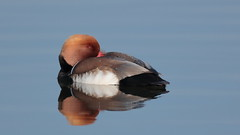 Red-crested Pochard (Hammerchewer) Tags: redcrestedpochard duck drake wildlife outdoor