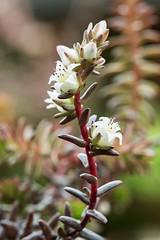 Villadia diffusa 4844-1; Crassulaceae (1)