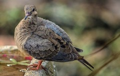 That Feathered Look (ACEZandEIGHTZ) Tags: nikon d3200 backyard birdwatcher nature avian bird dove zenaidamacroura mourningdove feathers fluffedup macro closeup bokeh