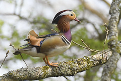 Mandarin Drake (Kentish Plumber) Tags: mandarin duck drake tree april 2019 aixgalericulata nature wildlife colourful elaborate ornate plumage perched wood breeding male ♂