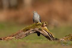 20190415-D4S_1234 (Bartek Olszewski) Tags: birds ptaki bird kukulka wood wildlife wild woods wings nature nikon natura nikond4s