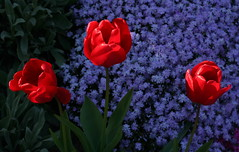 Three Red Tulips (Wolfgang Bazer) Tags: red tulips rote tulpen blumen flowers spring springtime frühling