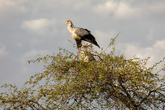 Two Secretary Birds on the Nest (Jill Clardy) Tags: africa tanzania vantagetravel acacia bird nest safari secretarybird tree 201902249l8a1411 serengeti national park nesting male female treetop kenya location mararegion