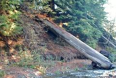 2009.10.24-023 (MrBigDog2k) Tags: trees avenueofthegiants redwoods creeks