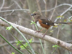 female eastern towhee (Cheryl Dunlop Molin) Tags: easterntowhee towhee femalebirds bird