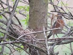 spring robin (Cheryl Dunlop Molin) Tags: americanrobin robinwithnest birdbuildingnest bird robin