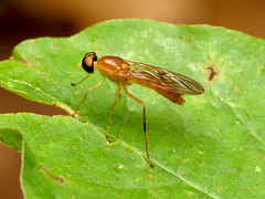 Compost Fly (treegrow) Tags: rockcreekpark washingtondc nature lifeonearth raynoxdcr250 arthropoda insect diptera fly stratiomyidae ptecticustrivittatus