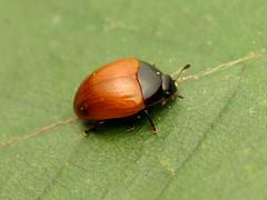 Red Fungus Beetle (treegrow) Tags: rockcreekpark washingtondc nature lifeonearth raynoxdcr250 arthropoda insect beetle coleoptera erotylidae tritomasanguinipennis
