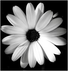 #BLACKANDWHITE (Jehanmi) Tags: nature thebeautyofnature flickr fiori macroflowers flora photography macrophotography macro flowers fleurs blackandwhite noiretblanc bnw bw nb white whiteinbacklight backlight light smileonsaturday letitglow glowing briller