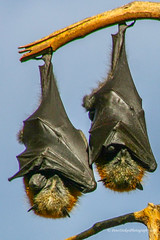 Just hanging around - Wingham Brush Nature Reserve (Peter.Stokes) Tags: animals australia bats colour countryside fauna flight flying flyingfoxes landscape landscapes nature photo photography trees wildlife australian outdoors