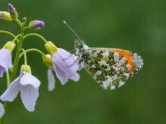 I'm a man (de_frakke) Tags: schmetterling vlinder butterfly mariposa papillon natuur koebos male orangetipbutterfly oranjetipje pellenbergbe hageland farfalle orangetip