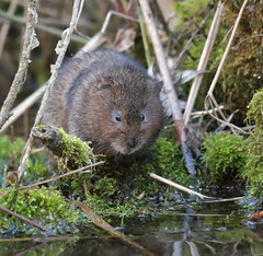 Is it safe to come out yet? (KHR Images) Tags: watervole water vole arvicolaamphibius semiaquatic rodent wild mammal cambridgeshire shy riverbank wildlife nature nikon d500 kevinrobson khrimages