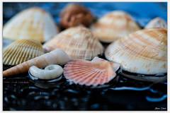 Seashells (Bear Dale) Tags: seashells ulladulla southcoast new south wales shoalhaven australia beardale lakeconjola fotoworx milton nsw nikond850 photography framed nature nikon d850 nikkor afs micro 105mm f28g ifed vr