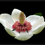 Magnolia on black thumbnail