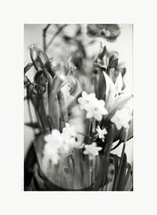 ange en fleurs (salar hassani) Tags: ange en fleurs angel flowers canon f1 f1n 50mm film 35mm blackandwhite