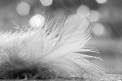 Après la pluie toujours vient le beau temps... (*c*j*) Tags: hmbt nb bw pluie rain plume feather monochrome