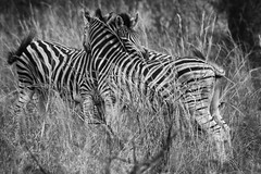 Are Zebras really black and white? (Stu G2006) Tags: nikon d3300 tamron 70300mm black white monochrome zebras grass kruger national park south africa