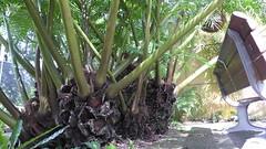Bigg Fferne (tanetahi) Tags: giant fern kingfern marattiaceae eusporangiate angiopteris angiopterisevecta bipinnate tropical fernhouse mtcootthabotanicgardens