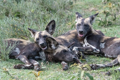 African Wild Dogs (Mark Vukovich) Tags: african wild dog canine mammal tanzania painted wolf ndutu serengeti national park