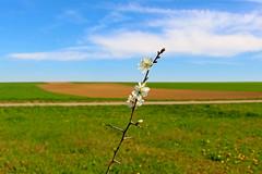 Awakenning (verawald) Tags: spring blossoms white field fields sky blue branch frühling ast blüten weiss feld felder outdoor himmel blau landscape landschaft