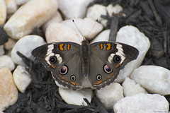 Butterfly 2019-5 (michaelramsdell1967) Tags: butterfly butterflies nature macro animal animals insect insects detail delicate fragile vivid vibrant beauty beautiful black white buckeye upclose closeup pretty lovely spots bug bugs wings garden colorful brown zen