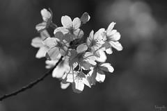 Yoshino cherry (Prunus×yedoensis) (takapata) Tags: sony sel90m28g ilce7m2 macro nature flower bw