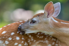 A Little Bit Twisted (Digital Rebels) Tags: red deer lick fawn ontario wildlife canada spots mammal cute twisted forest outside baby