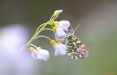 Oranjetipje - Orange tip - Anthocharis cardamines (Wim Boon Fotografie) Tags: wimboon canoneos5dmarkiii holland nederland netherlands natuur nature mannenplaat orangetip oranjetipje pinksterbloem pinksterbloemen vlinder macrofotografie macro canon100mmf28lismacro hoekzoeker