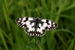 Marbled White (andrewspencer1961) Tags: butterflies wallpaper buterfly marbled white