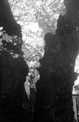 第48回常盤平さくらまつり(2) (48th tokiwadaira cherry-blossom festival 2) (Dinasty_Oomae) Tags: rollei35 rollei ローライ35 ローライ 白黒写真 白黒 monochrome blackandwhite blackwhite bw outdoor 千葉県 千葉 chiba 松戸市 松戸 matsudo sakura サクラ 桜 cherryblossom street 常盤平 tokiwadaira 祭 festival
