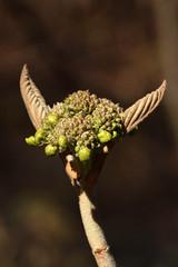 17988*B Viburnum furcatum (Forked Viburnum) (Arnold Arboretum Tree Spotters) Tags: suzannemrozak 17apr2019 17988b viburnumfurcatum forkedviburnum bud