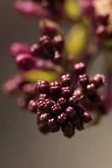381-2001*A Syringa oblata (Broadleaf Lilac) (Arnold Arboretum Tree Spotters) Tags: suzannemrozak 17apr2019 3812001a syringaoblata broadleaflilac bud