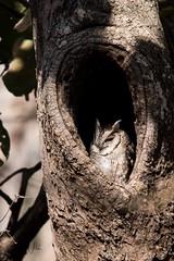 Scopes Owl (iamfisheye) Tags: 300mm nikon naturetrek d500 xqd february sassangir vr scopesowl f4 india raremammalsandbirdsofgujarat owl afs tc14iii 2019 gujarat pf