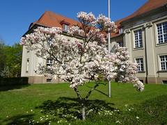 Magnolie (SebastianBerlin) Tags: 2019 berlin magnolie magnolia germany германия берлин магнолия zehlendorf dahlem gstapk gsta geheimesstaatsarchiv preusischerkulturbesitz archivstrase archiv 14195 archivstrase1214 archivstrase12 guessedberlin gwbstoha