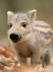 Wild Boar (Nigel Hodson) Tags: canon 1dx 600mmf4ii boar wildboar humbug wildlife wildlifephotography nature naturephotography forestofdean piglet
