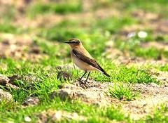 Wheatear Holbrook Suffolk (Chris Baines) Tags: wheatear holbrook cultivated land suffolk