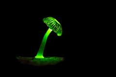 Glowing Mushroom (JulGlouton) Tags: glowing mushroom bioluminescent bioluminescence fungus fungi luciferin oxyluciferin agaricales champignon rainforest tetepare solomonislands pacific night