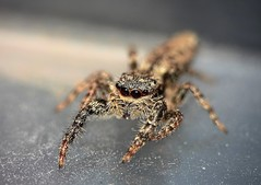 Euophrys lanigera (Rolf Dietrich Brecher) Tags: spinne spider springspinne