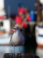 Schreihals. (alterahorn) Tags: seagull möwe fischerboot fischkutter alterstrom hafen rostock warnemünde