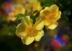 Soft and beautiful 💐 (Julie Greg) Tags: flower flowers rose yellow spring spring2019 soft nature nautre colours canon