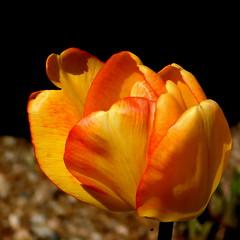 Tulipan. (andrzejskałuba) Tags: poland polska pieszyce dolnyśląsk silesia sudety europe plant roślina natura nature natural natureshot natureworld nikoncoolpixb500 garden ogród kwiat flower flora floral yellow żółty macro color beautiful red czerwony spring wiosna tulip tulipan 1000v40f