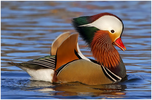 04-Handsome (Mandarin Duck) by Ramu Bijanki