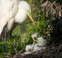 """""""MOM....count your blessings...all 3 of us! (Christine Fusco) Tags: babygreategrets greategret greategretchicks nest charleston southcarolina thelowcountry"""