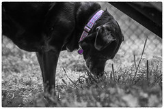 Sniff, Sniff, 2019.04.18 (Aaron Glenn Campbell) Tags: dog doggo pupper missopal blacklab labmix knoxcounty knoxville tn tennessee barkpark dogpark bw blackandwhite selectivecolor nikcollection silverefexpro sony a6000 ilce6000 mirrorless tokina 35105mmf35 closefocusingzoom filmera vintagelens fotodiox lensadapter canonfdmount