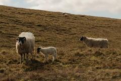 Newborn (Derbyshire Harrier) Tags: swaledalesheep ewe lamb 2019 sheep bleamoor yorkshire april spring yorkshiredales backlit backlighting