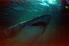(Just A Stray Cat) Tags: konica centuria minolta shark toronto ripley white great underwater snorkeling ontario 800 expired 35mm 35 mm film analog analogue stylus epic olympus mju ii