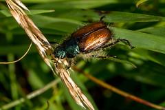 Garden Chafer (RGaenssler) Tags: sechsfüser tracheentiere blatthornkäfer insekten gartenlaubkäfer sigma105f28exdgoshsmmakro floraundfauna phyllopertha polyphaga tiere neuflügler rutelinae fluginsekten gliederfüser käfer arthropoda coleoptera gardenchafer hannetondesjardins hannetonhorticole hexapoda insecta neoptera phylloperthahorticola pterygota scarabaeidae tracheata lenzkirch badenwürttemberg deutschland