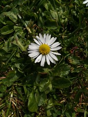 Daisy (daveandlyn1) Tags: flowerhead daisy lawn folige weeds ourgarden smartphone cameraphone pralx1 p8lite2017 huawei