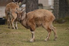 Turkmenian Markhor (CoasterMadMatt) Tags: highlandwildlifepark2018 highlandwildlifepark highland wildlifepark wildlife park zoo zoos zoologicalgardens animalparks animalpark animal parks scottishzoos zoosinscotland enclosure enclosures animalenclosures animals exhibit exhibits turkmenianmarkhor turkmenian markhor caprafalconeriheptneri capra falconeri heptneri kingussie kineussie invernessshire scottishhighlands scottish highlands scotland alba britain greatbritain unitedkingdom gb uk europe december2018 autumn2018 december autumn 2018 coastermadmattphotography coastermadmatt photos photographs photography nikond3200